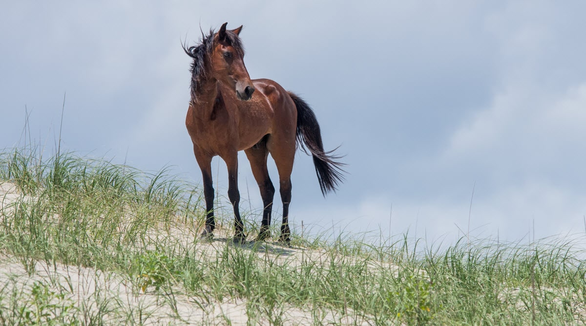 wild horse in Outer Banks