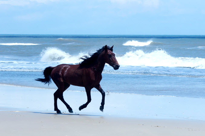 Outer Banks wild horse runs in the surf