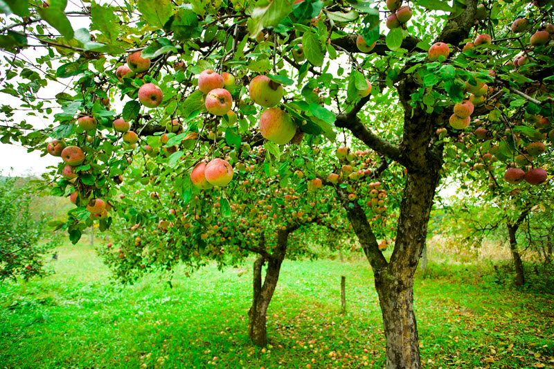 Ready-to-pick apples hang from trees in an apple orchard