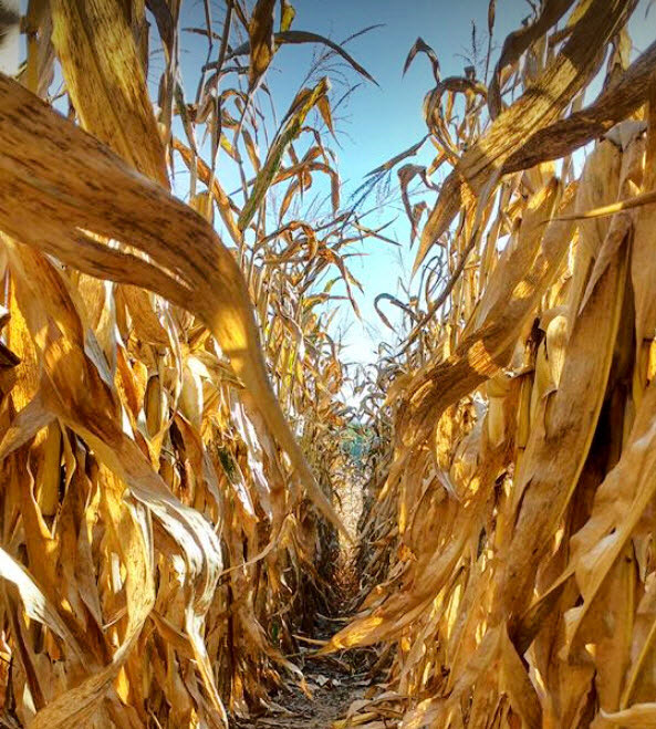 Golden stalks of corn in the fall